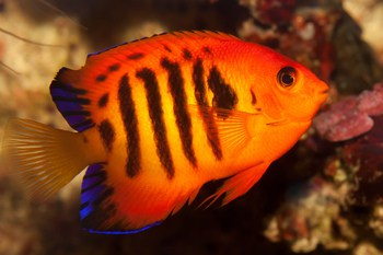 angelfish species