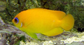 lemonpeel angel fish reef safe