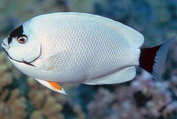 beautiful fish for reef aquariums