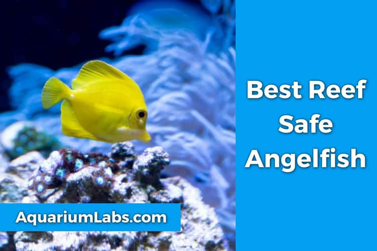 Reef Safe Angelfish featured image