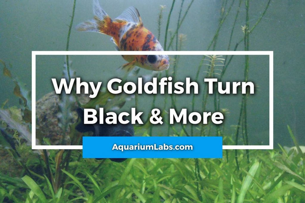 Why Is My Goldfish Turning Black Featured Image