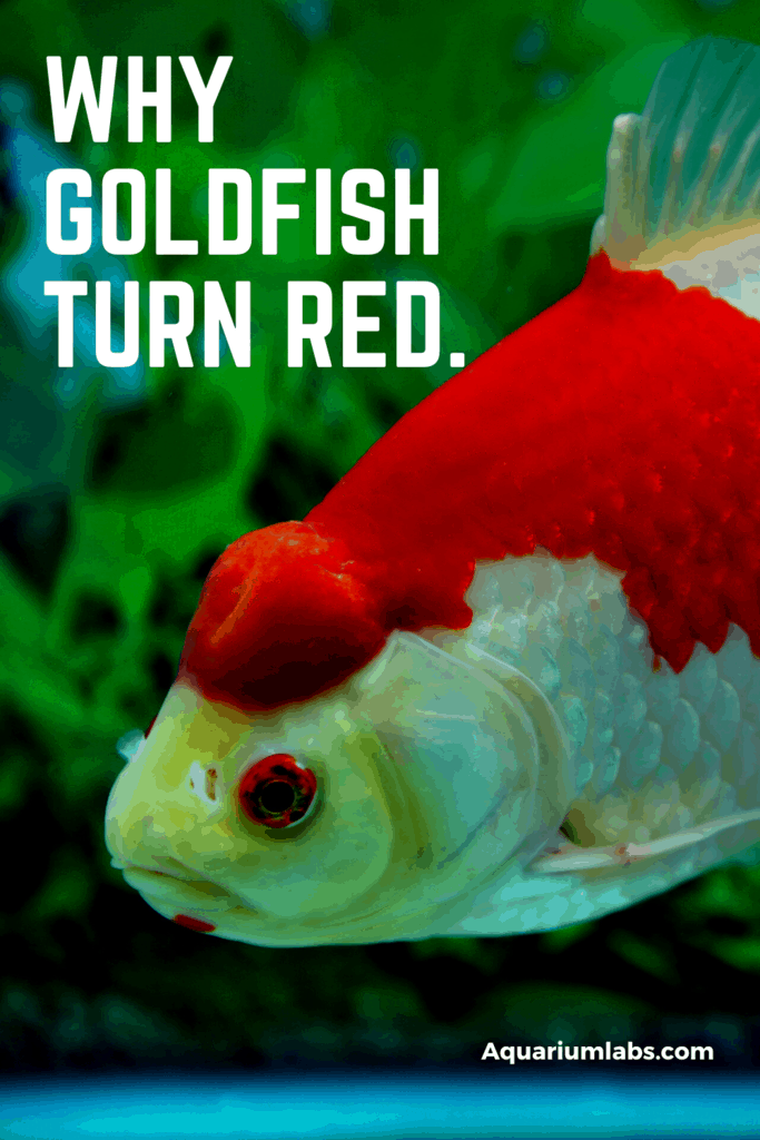 Goldfish get their name from their metallic orange tones. But what if you start seeing patches of red developing on your fish? A goldfish that's turning red is something to watch carefully because it can indicate a water quality or disease issue that needs your attention. So let's take a look at the reasons why your goldfish is turning red - and how to treat these issues!