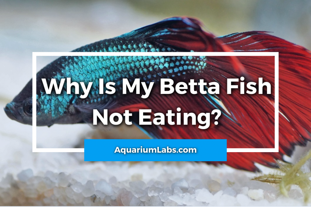 betta fish not eating - featured image