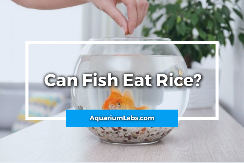 Can fish eat rice - featured image