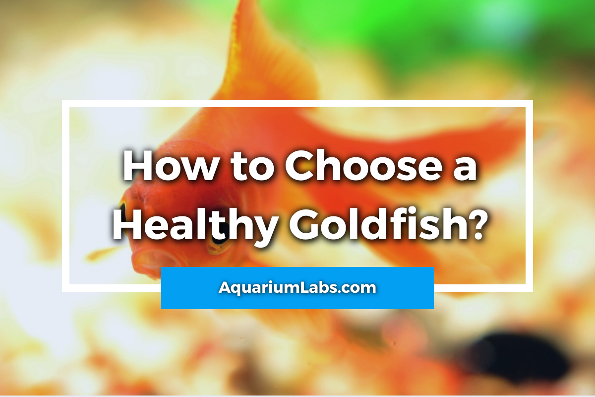 how to choose a healthy goldfish - featured image