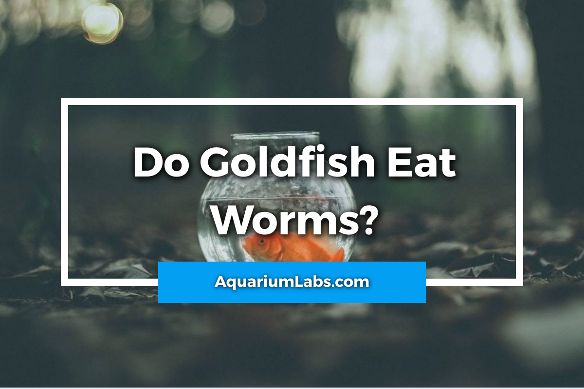 Do goldfish eat worms - featured image