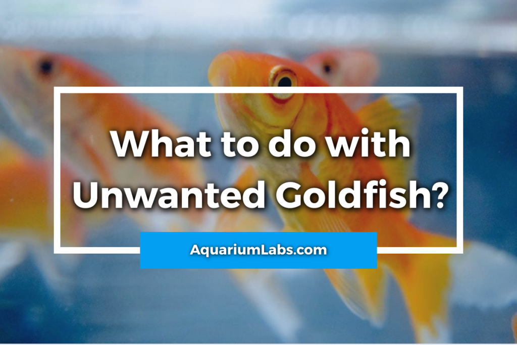 what to do with unwanted goldfish - featured image
